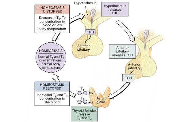 anabolic steroids diagram