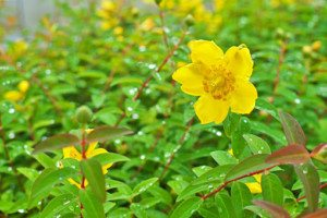 St. John's Wort (Hypericum Perforatum) and Depression