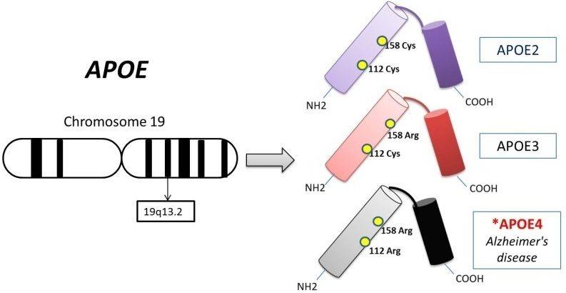 APOE gene alleles variations