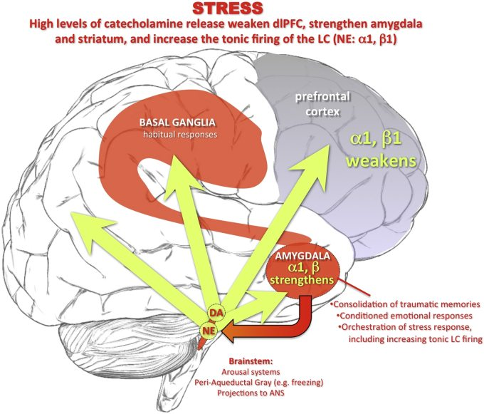stress-and-prefrontal-cortex