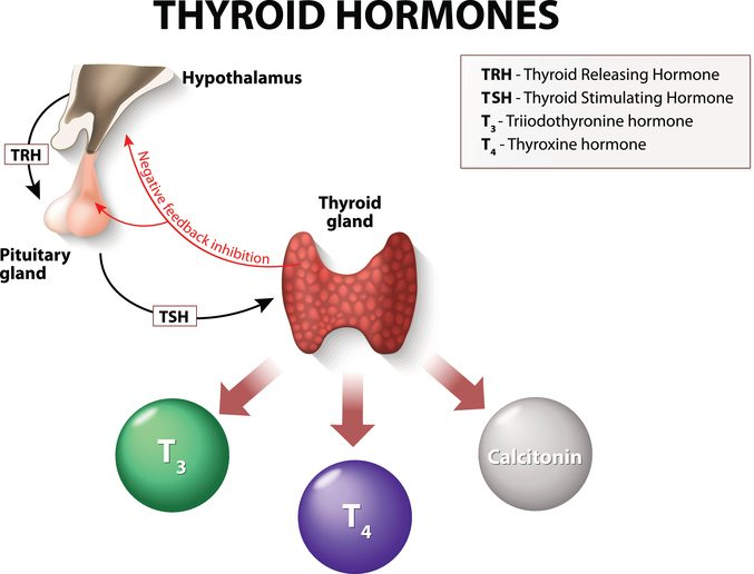 thyroxine production in the body