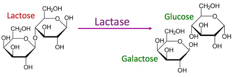 What is Lactose?